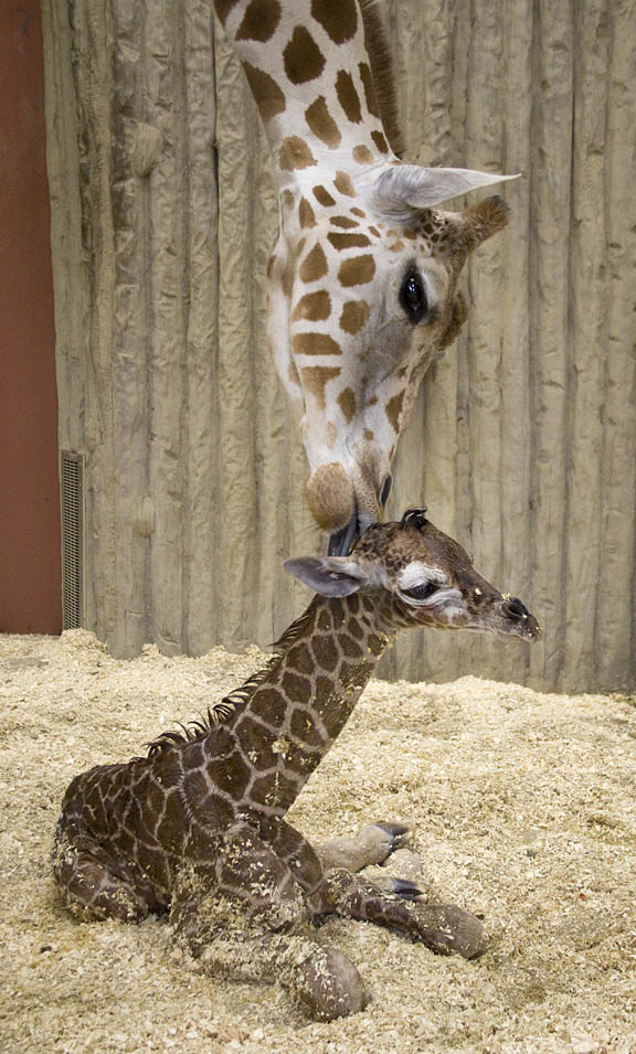 giraffes - Page 2 Image012