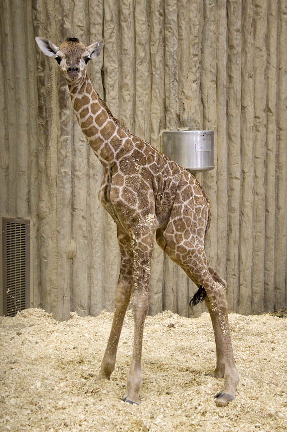 giraffes - Page 2 Image013