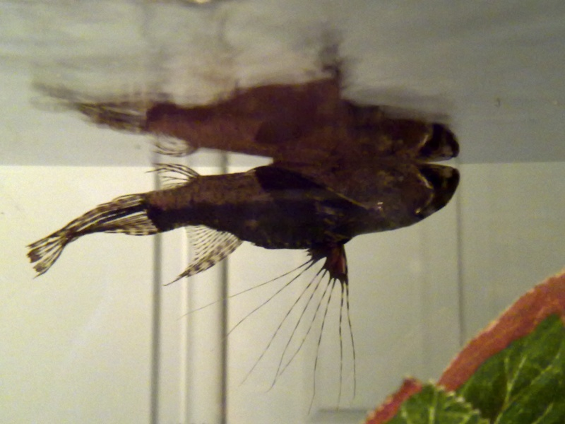 South Afrikan Butterfly Fish.. mature adult... Butterfly Fish.. 08032010