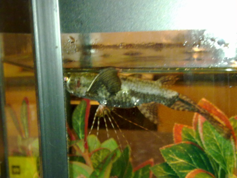 South Afrikan Butterfly Fish.. mature adult... Butterfly Fish.. 08032011