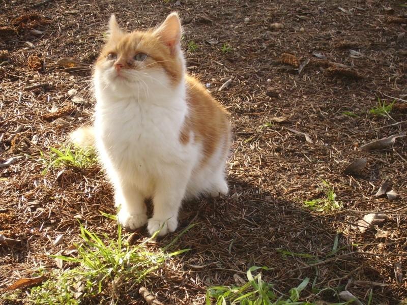 Pompon chaton dehors ds le 49 cherche en urgence une FA!!!! Pompon10