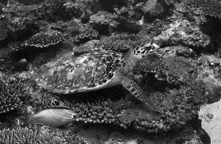 Faune maldivienne sous-marine (grands animaux)... P3024310