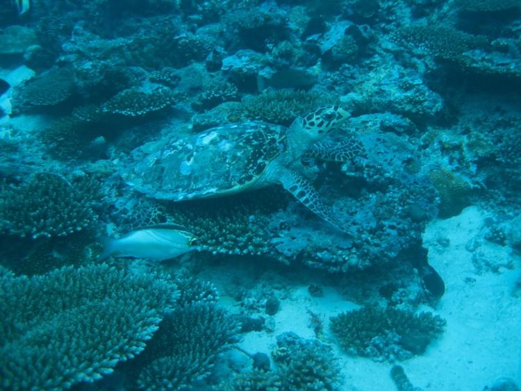 Faune maldivienne sous-marine (grands animaux)... P3024311