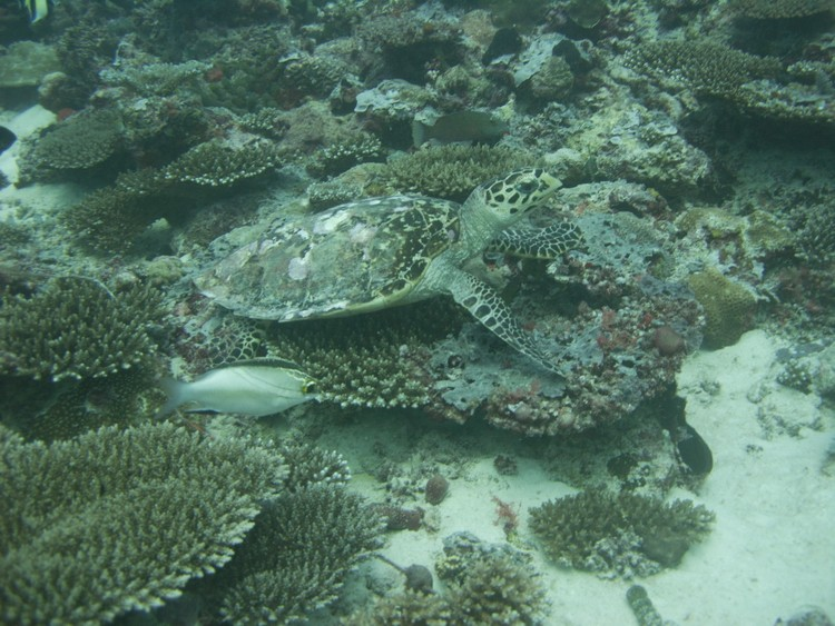 Faune maldivienne sous-marine (grands animaux)... P3024312
