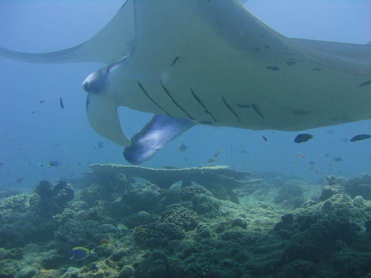 Faune maldivienne sous-marine (grands animaux)... P3034510