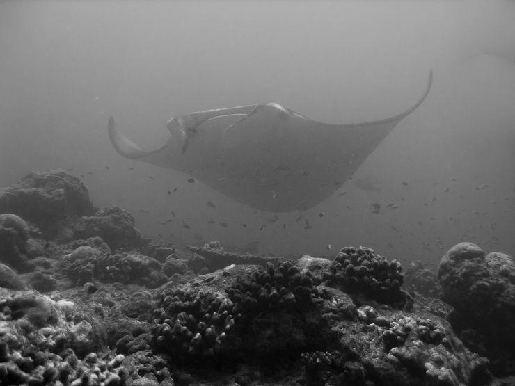 Faune maldivienne sous-marine (grands animaux)... P3034511