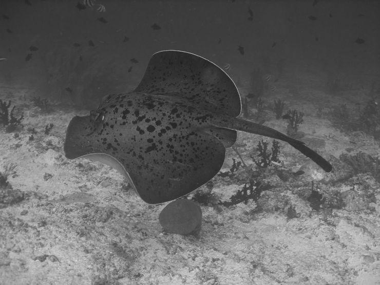 Faune maldivienne sous-marine (grands animaux)... P3074711