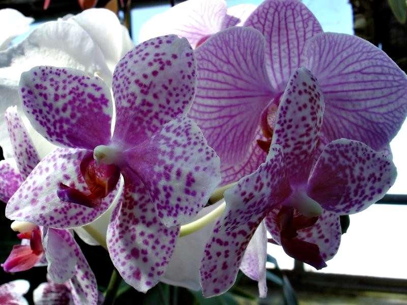 Les orchidées Orchid12