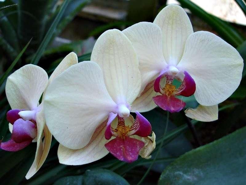 Les orchidées Orchid13