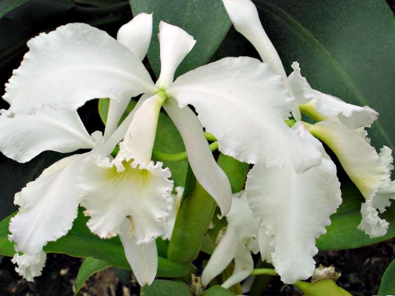 Les orchidées Orchid17