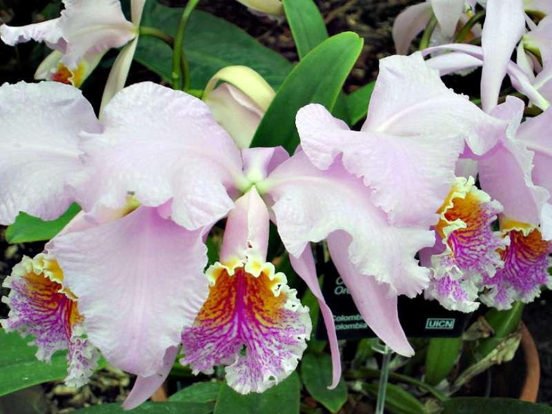 Les orchidées Orchid18