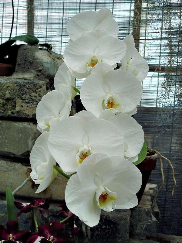 Les orchidées Orchid19