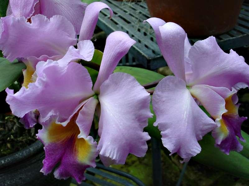 Les orchidées Orchid20