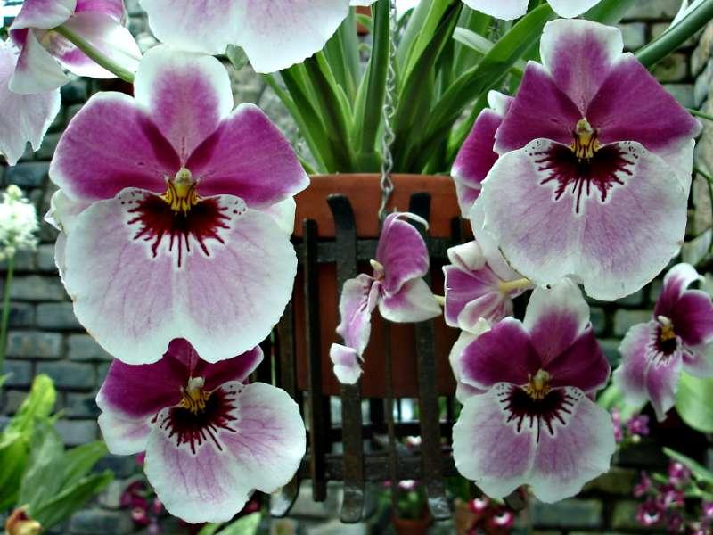 Les orchidées Orchid21