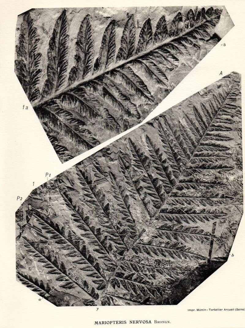 Odontopteris Brongniart , 1825 . 0120810