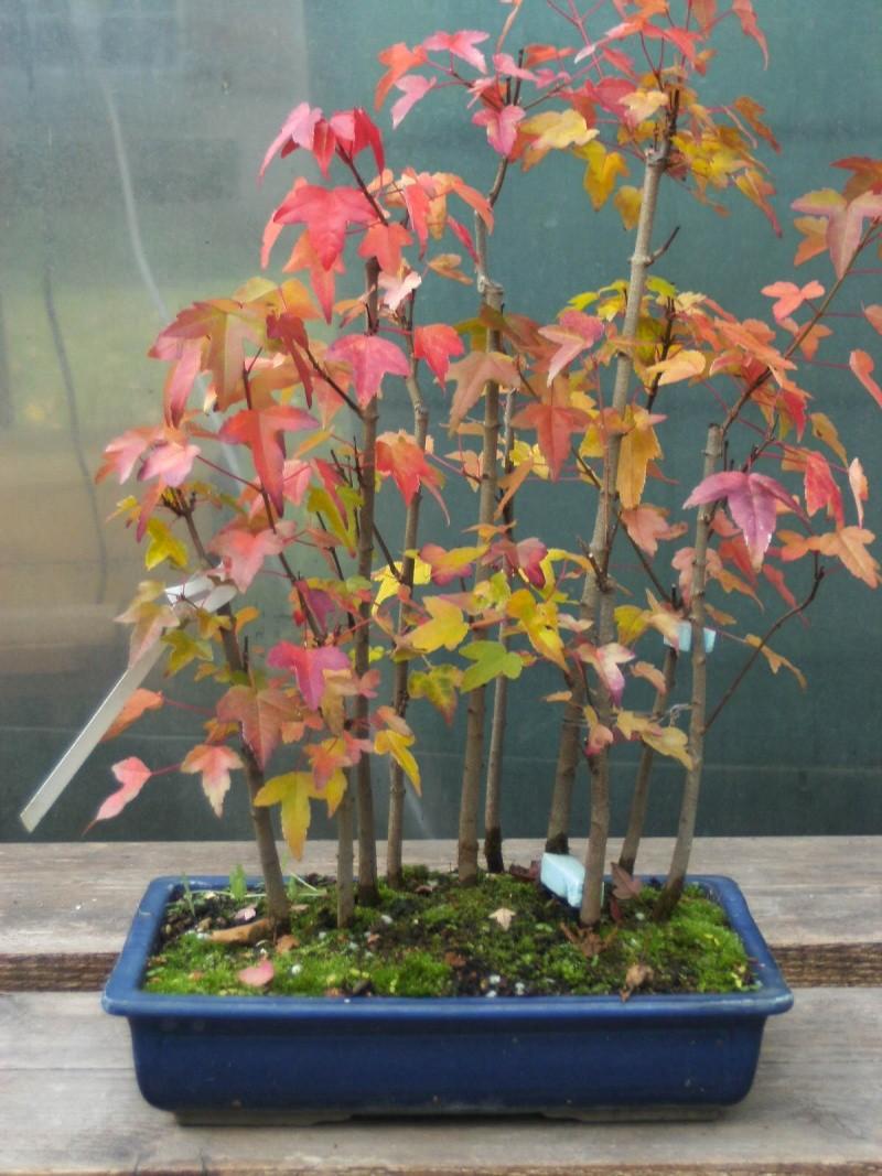 jeunes plants acer buergerianum et palmatum Bild0310