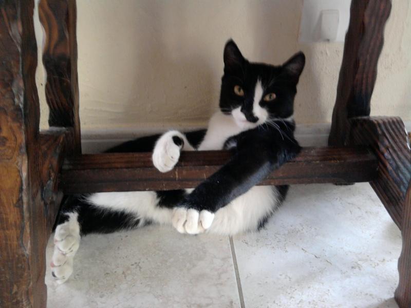 Chat (mâle castré) noir et blanc type europeen Photo010