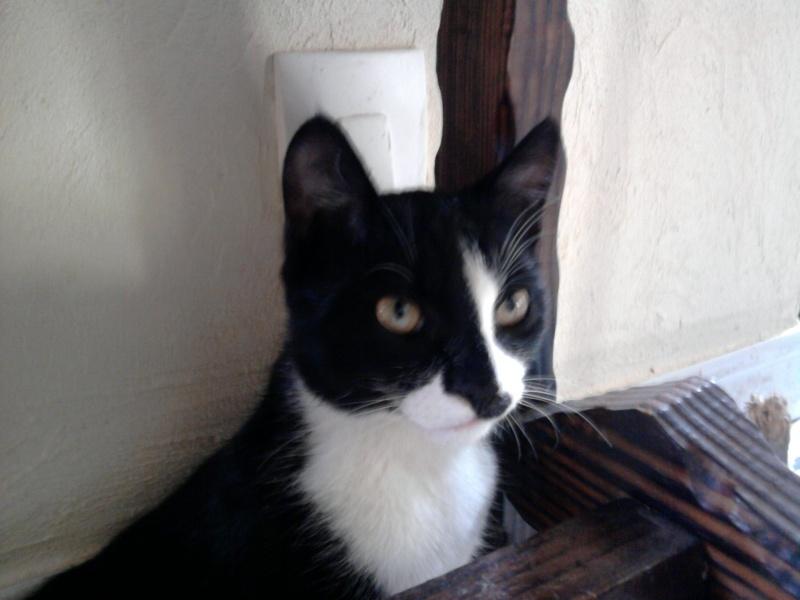 Chat (mâle castré) noir et blanc type europeen Photo011