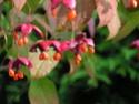 photos de mon jardin Euonim10