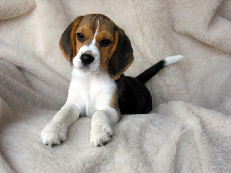 beagle10.jpg