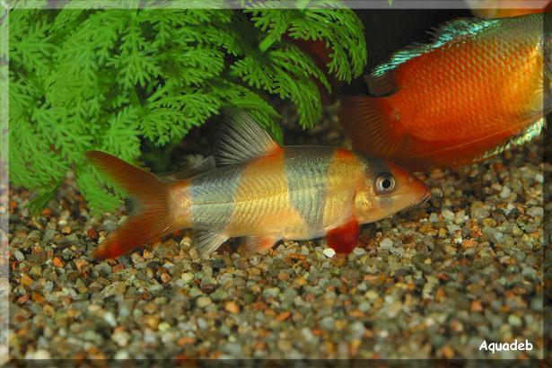Un poisson qui vient d'échappé bel! Botia_10