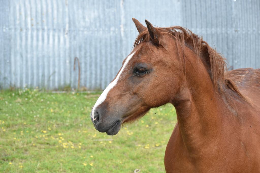 Vera de liberté poney shetland Dsc_0942