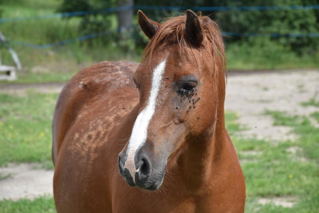 Vera de liberté poney shetland Dsc_0946