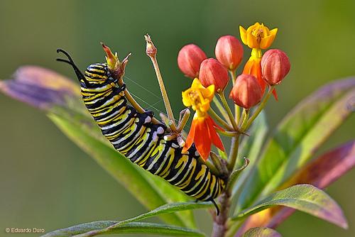 Ficha: Mariposa monarca, 41743010