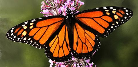 Ficha: Mariposa monarca, Recorr10