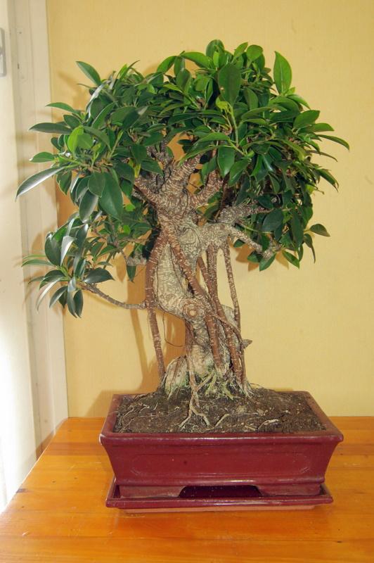 Besoin de conseils au sujet des Ficus Rétusa Imgp8015