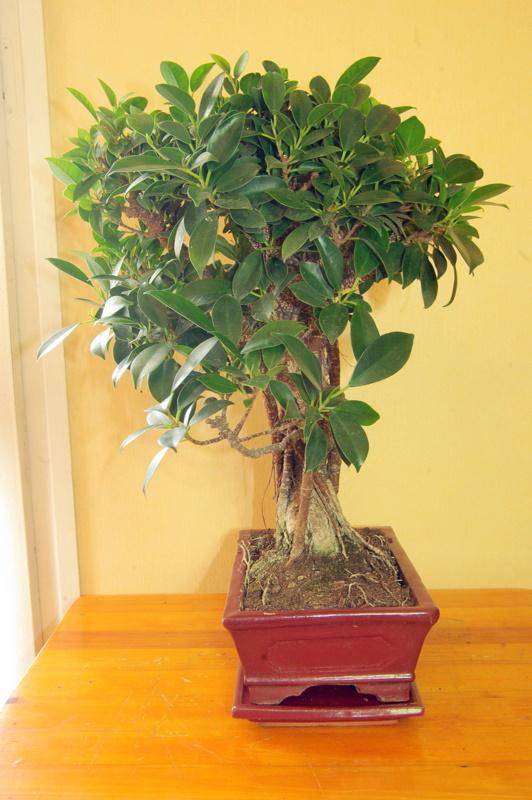 Besoin de conseils au sujet des Ficus Rétusa Imgp8016