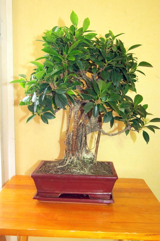 Besoin de conseils au sujet des Ficus Rétusa Imgp8017