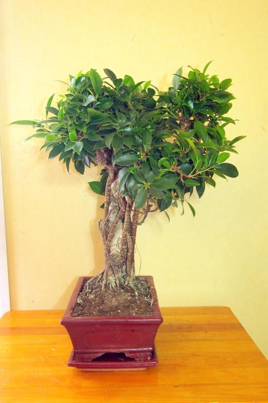 Besoin de conseils au sujet des Ficus Rétusa Imgp8018