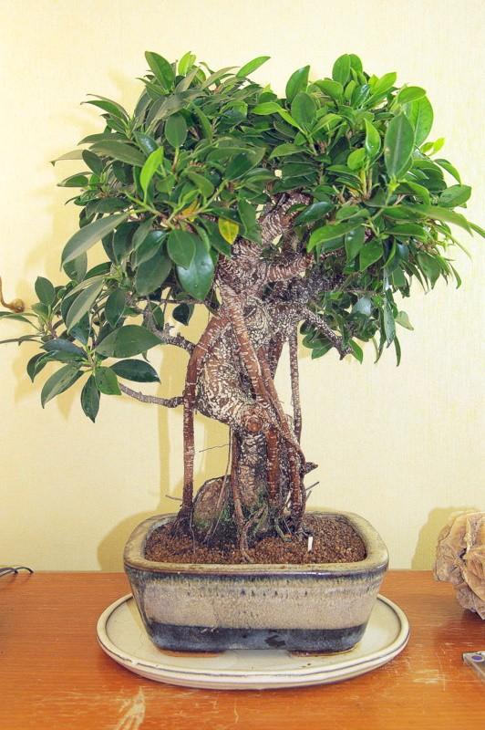 Besoin de conseils au sujet des Ficus Rétusa Imgp8019