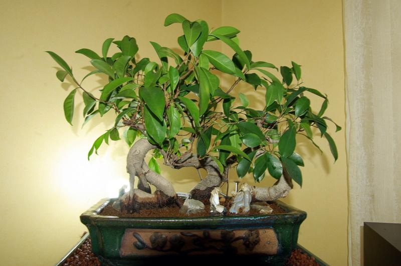 Besoin de conseils au sujet des Ficus Rétusa Imgp8020