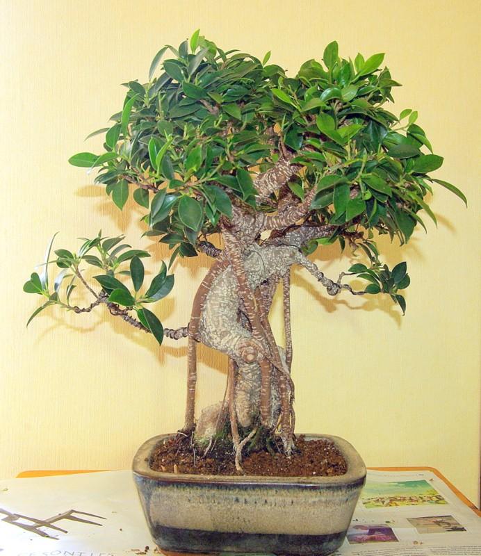 Besoin de conseils au sujet des Ficus Rétusa Imgp8026