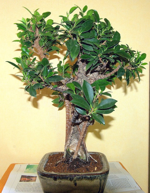 Besoin de conseils au sujet des Ficus Rétusa Imgp8027