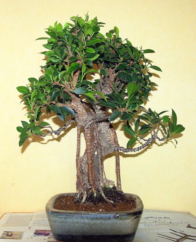 Besoin de conseils au sujet des Ficus Rétusa Imgp8028