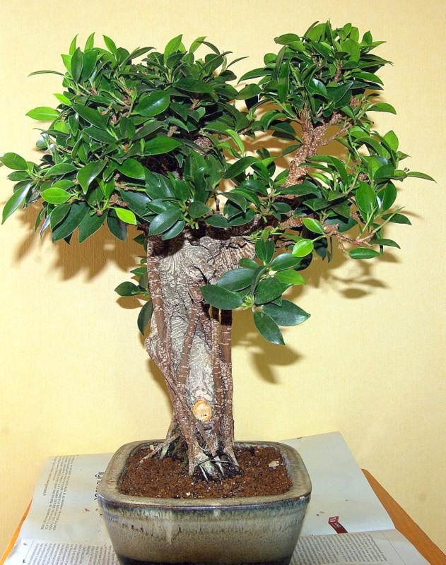 Besoin de conseils au sujet des Ficus Rétusa Imgp8029