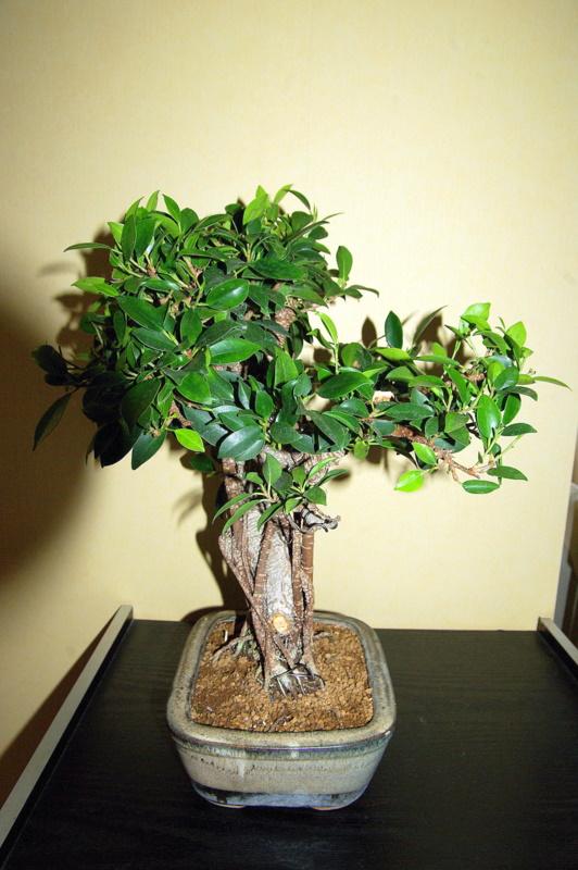 Besoin de conseils au sujet des Ficus Rétusa Imgp8030