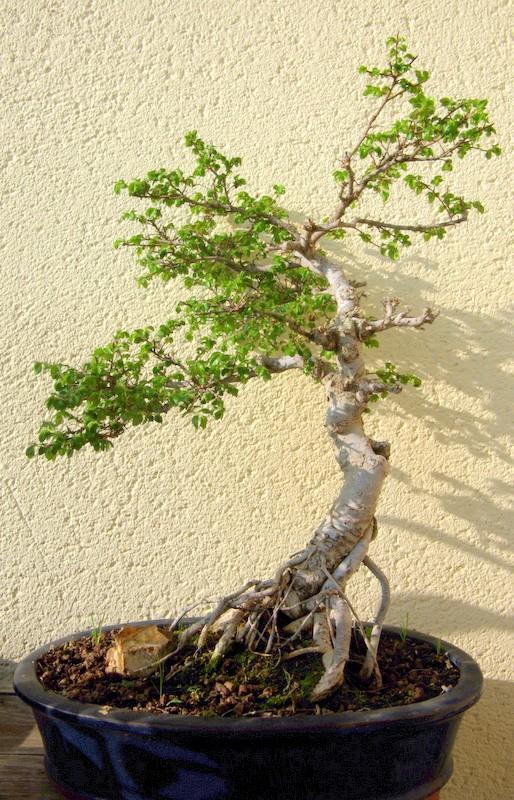 Après mes Ficus , voici mon Orme ( de Sibérie ) Imgp8110