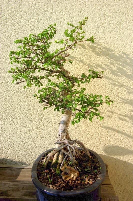 Après mes Ficus , voici mon Orme ( de Sibérie ) Imgp8111