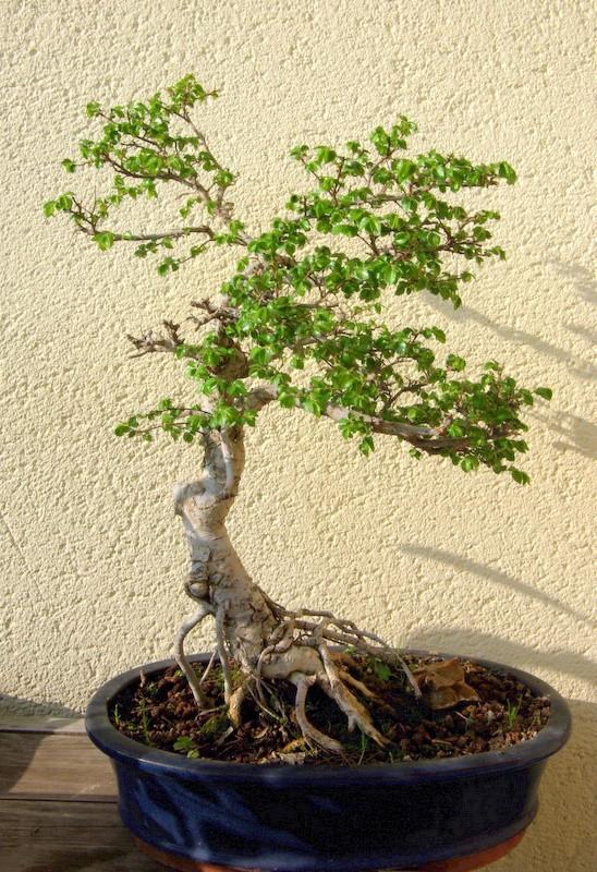 Après mes Ficus , voici mon Orme ( de Sibérie ) Imgp8113