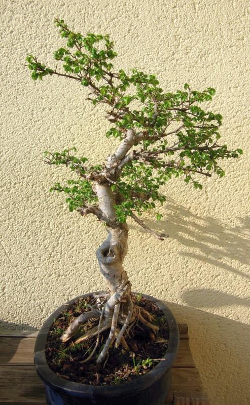 Après mes Ficus , voici mon Orme ( de Sibérie ) Imgp8114