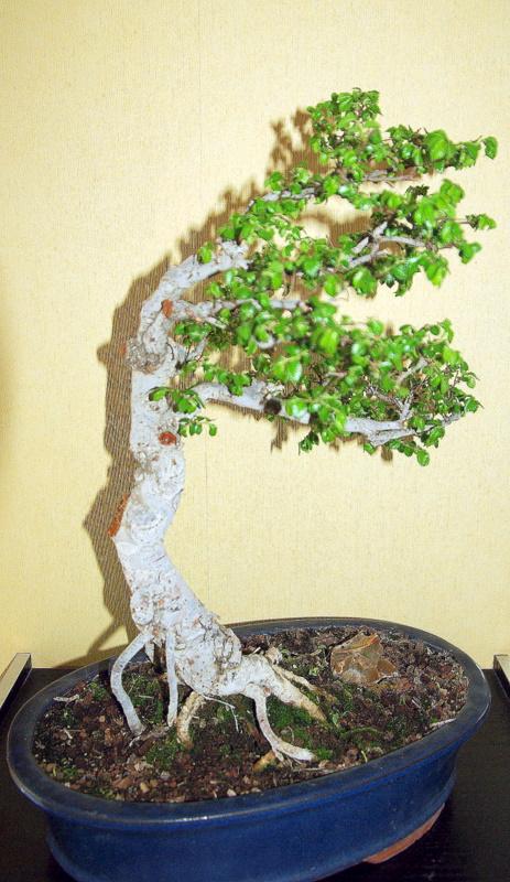Après mes Ficus , voici mon Orme ( de Sibérie ) Imgp8115