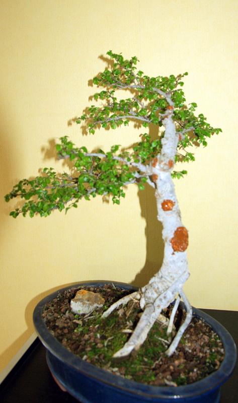Après mes Ficus , voici mon Orme ( de Sibérie ) Imgp8116