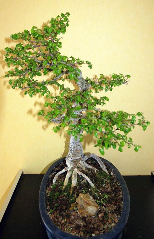 Après mes Ficus , voici mon Orme ( de Sibérie ) Imgp8117