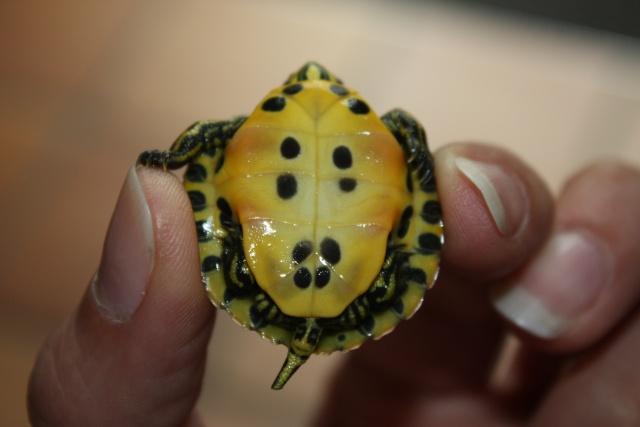 identification de notre tortue Img_0611