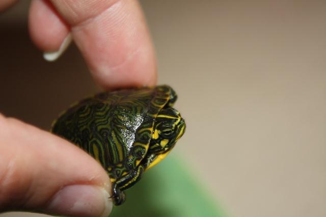 identification de notre tortue Img_0612