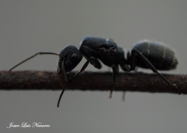 """Hormiga negra o """"podadora"""" Dsc_0024"""